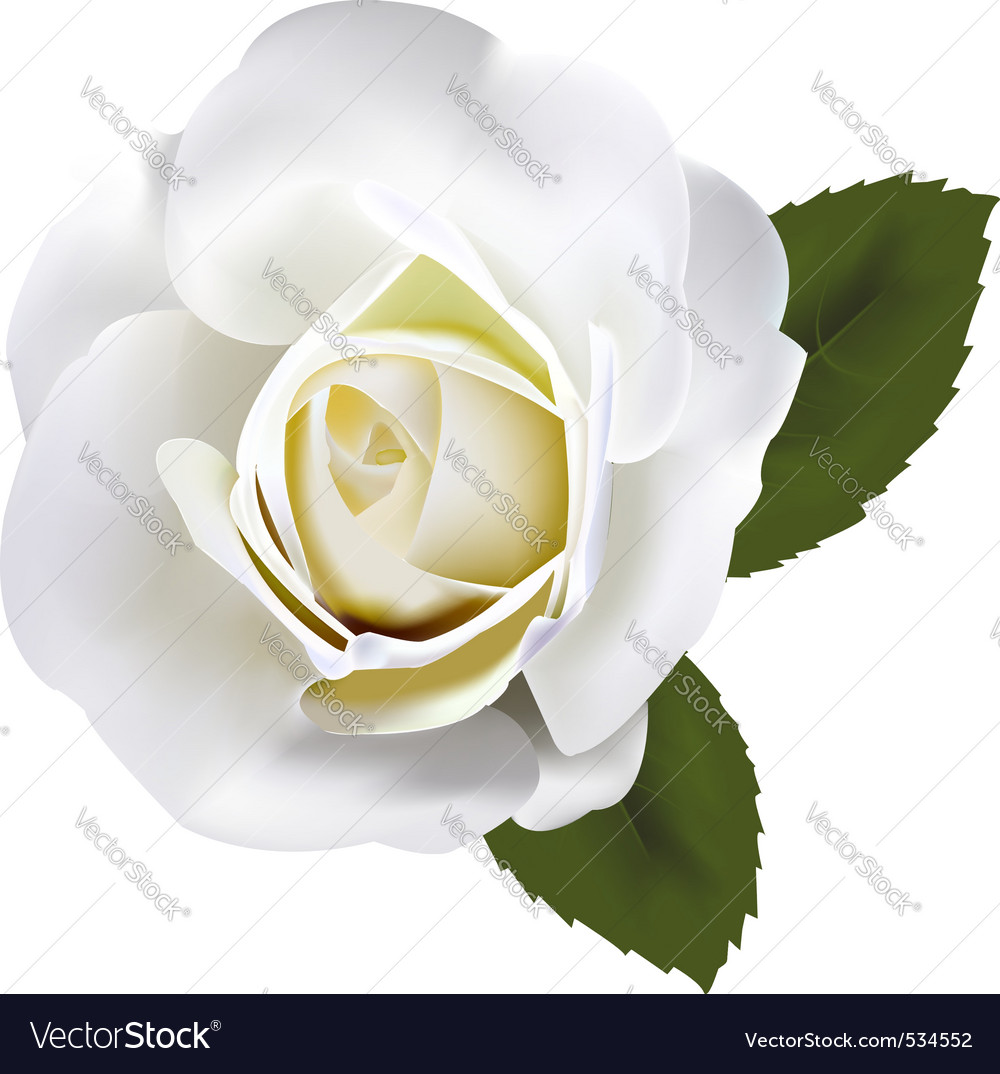 Beautiful white rose with gre vector image