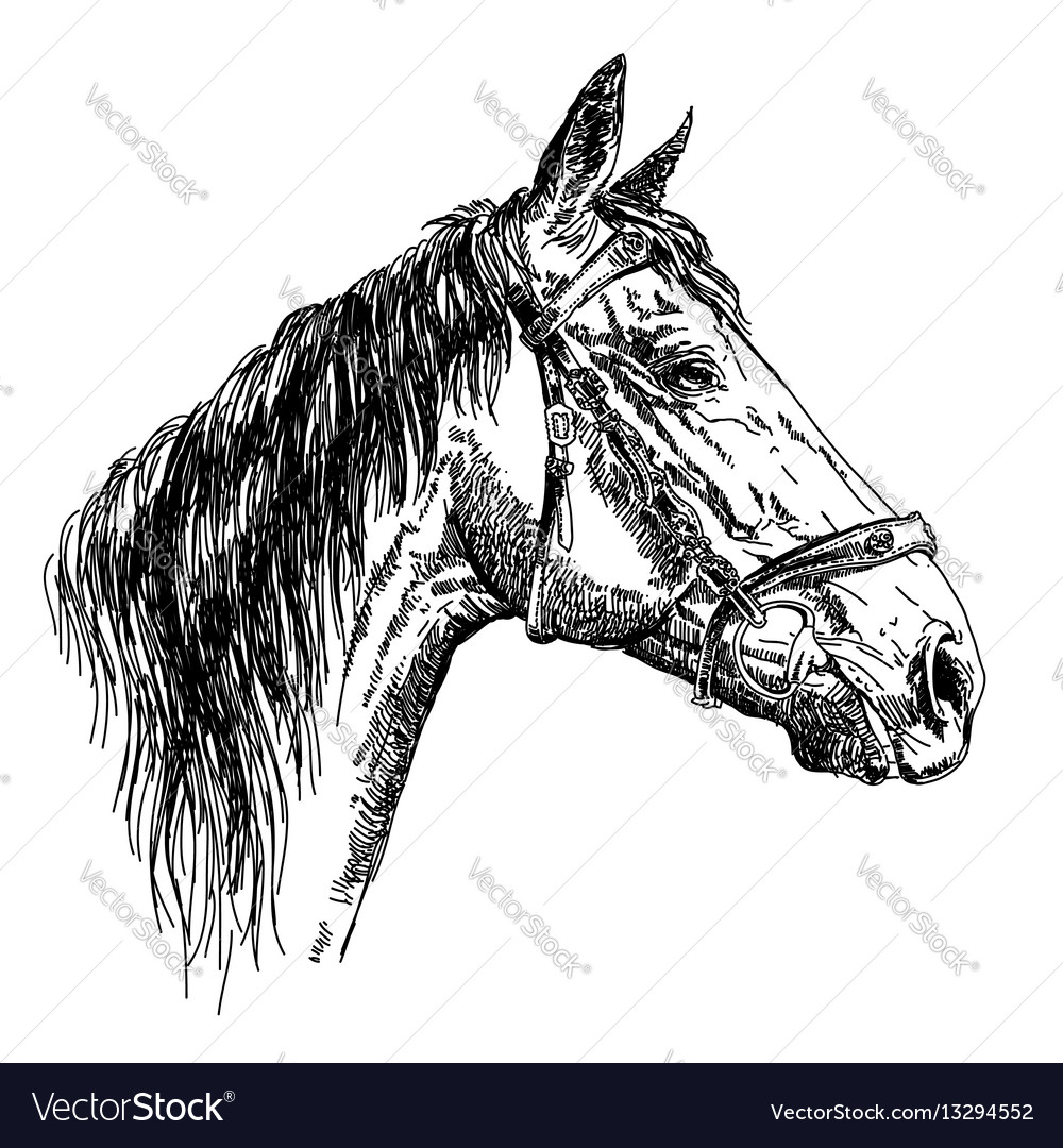 Horse head in profil with bridle hand drawing vector image