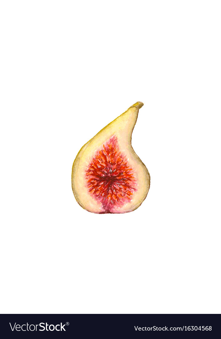 Watercolor half of figs isolated vector image