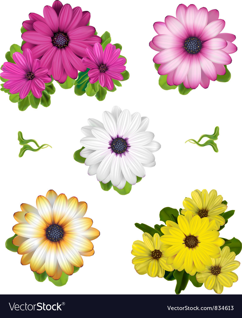 African Daisy Collection vector image