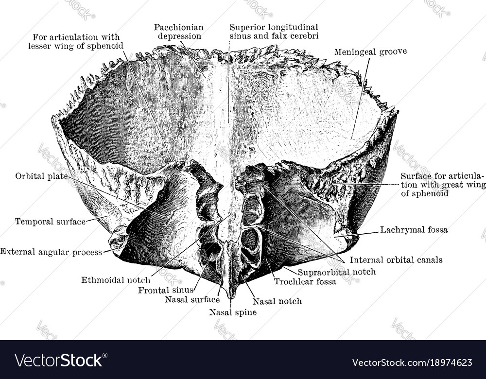 Frontal Bone Viewed From Below Vintage Royalty Free Vector