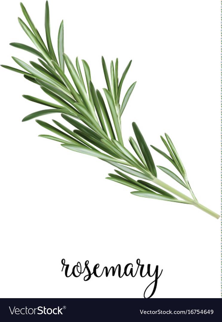 Rosemary branch vector image