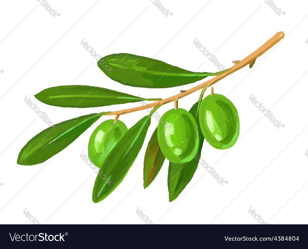 Picture of olive tree branch Royalty Free Vector Image