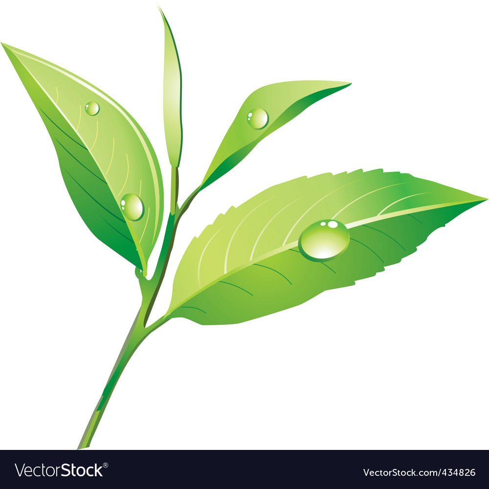 Vector green tea vector image