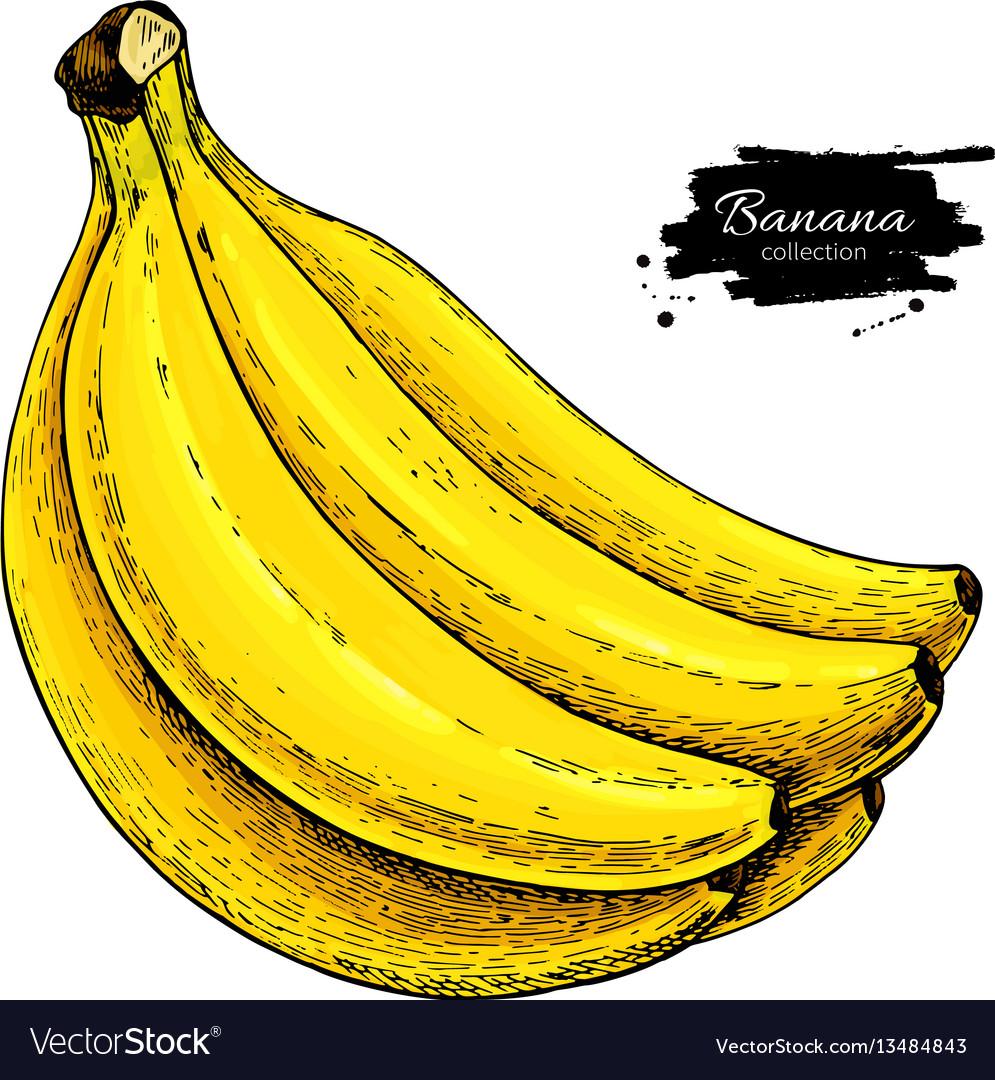 Banana bunch drawing isolated hand drawn vector image