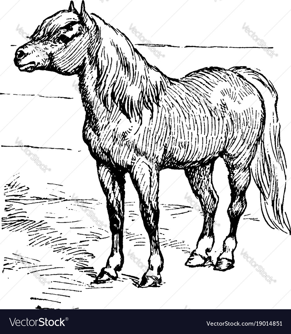 Shetland pony vintage vector image
