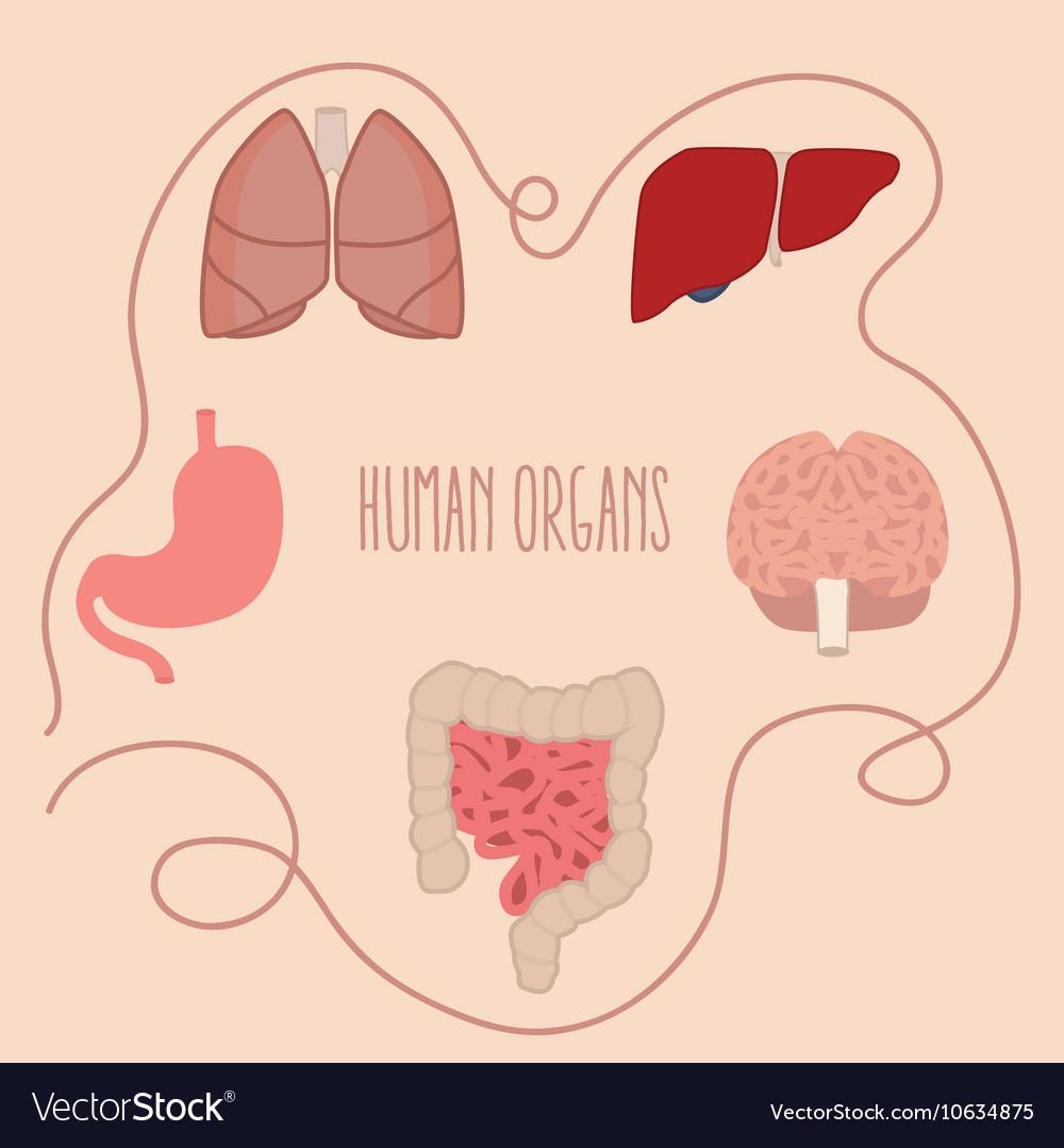 Human organs parts lung intestine vector image