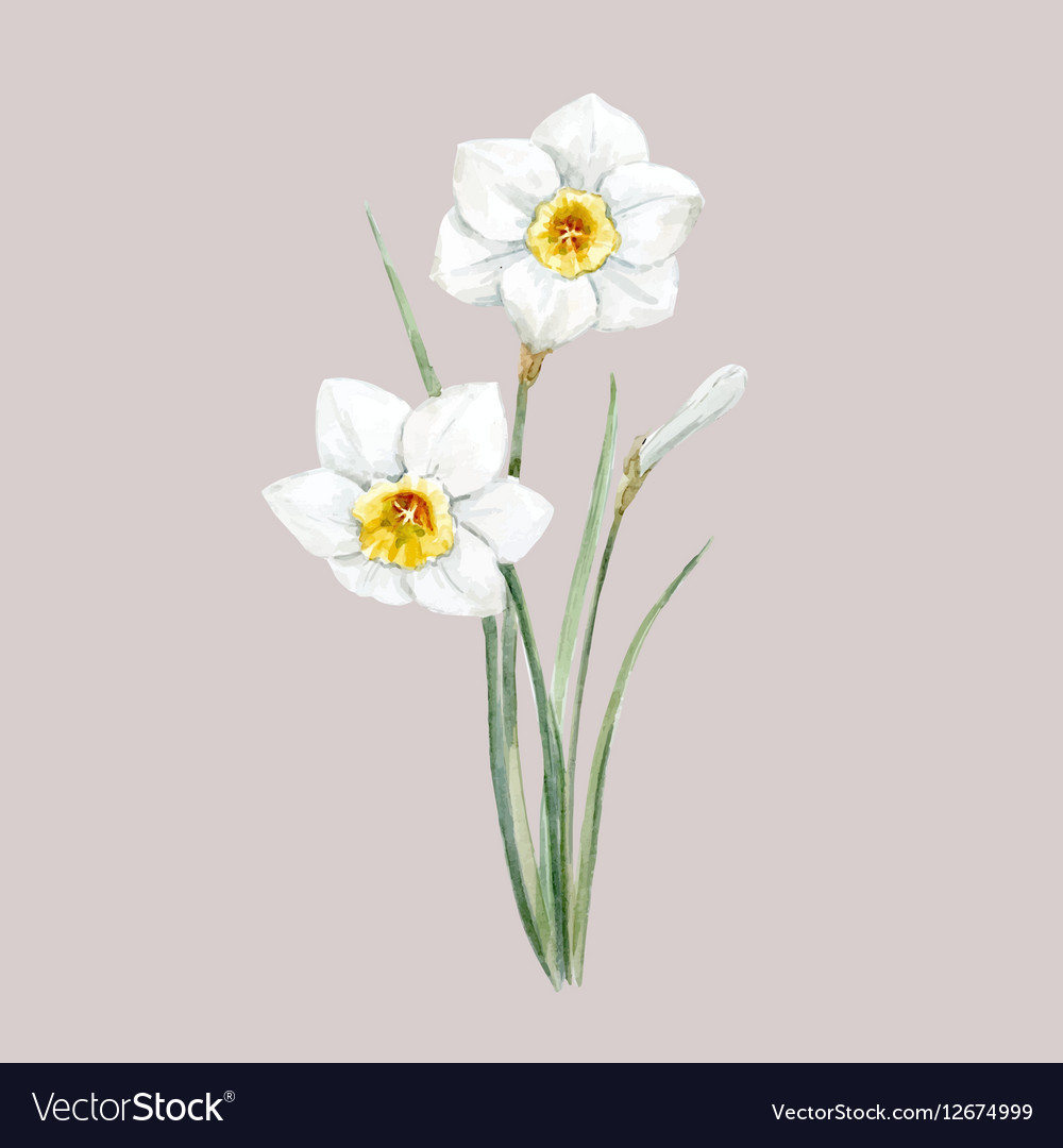 Watercolor white daffodil flower vector image
