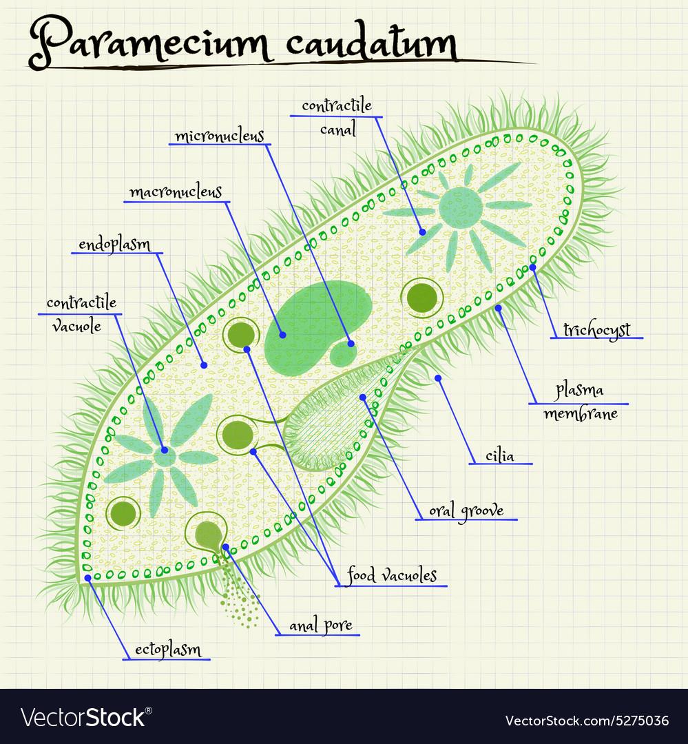Paramecium caudatum royalty free vector image vectorstock paramecium caudatum vector image pooptronica Gallery