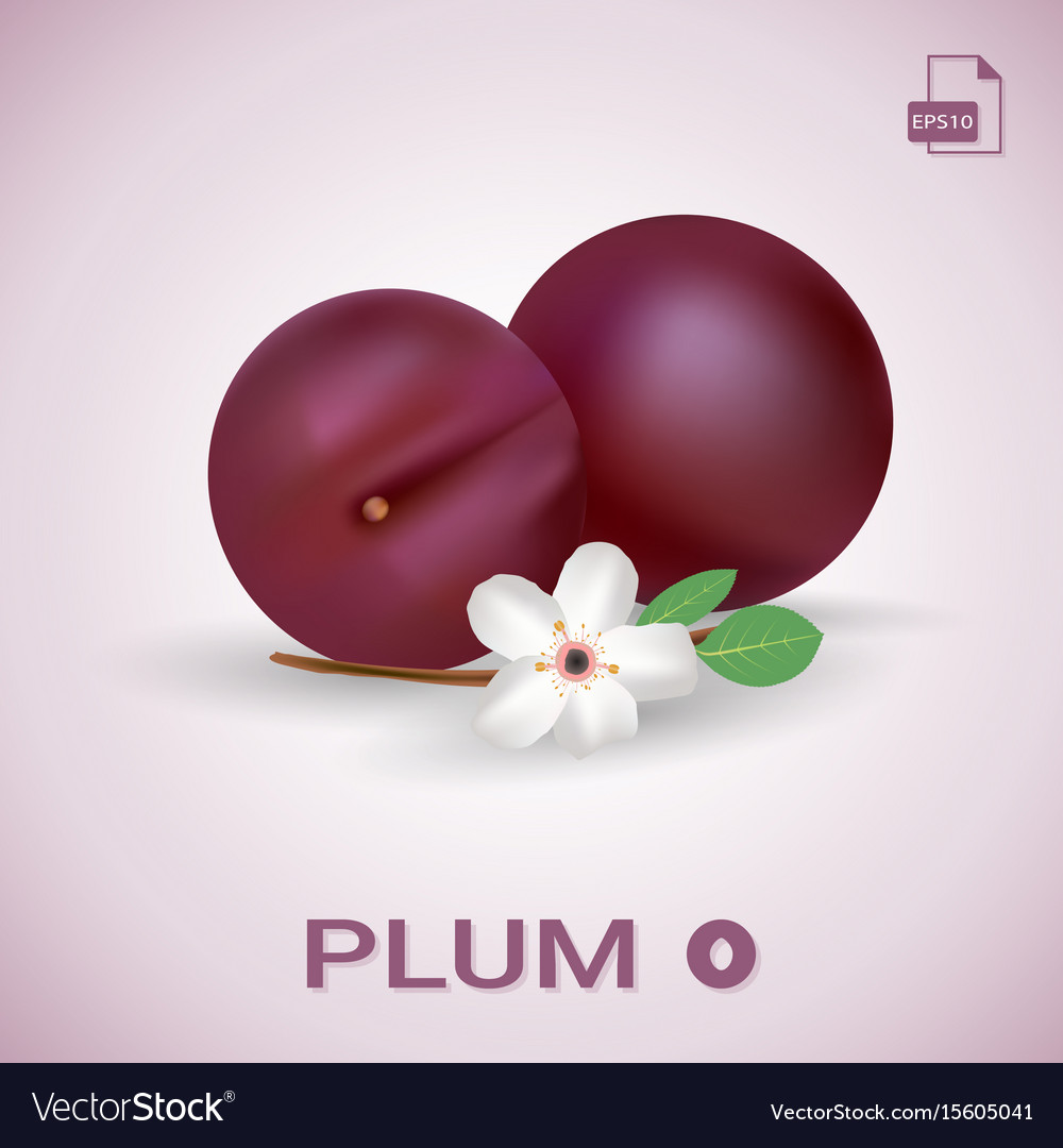 Set of two fresh ripe plums with leaves and vector image