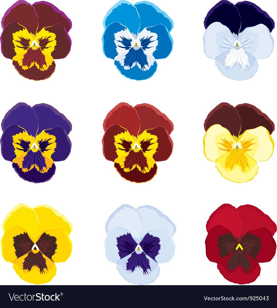 Viola tricolor vector image