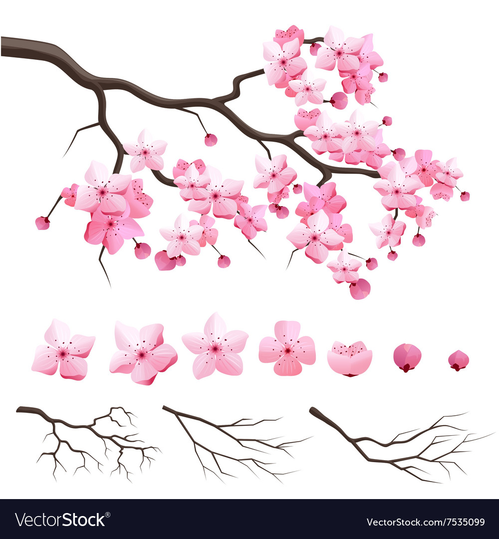 Japan sakura cherry branch with blooming flowers vector image