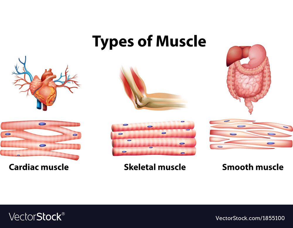 Types Of Muscle Royalty Free Vector Image Vectorstock