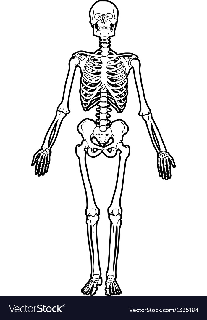 human skeleton royalty free vector image - vectorstock, Skeleton