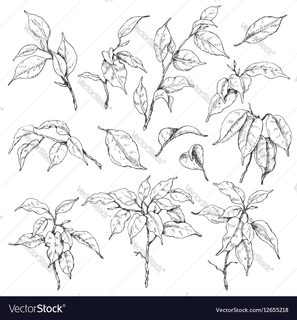Doodle ficus set vector image