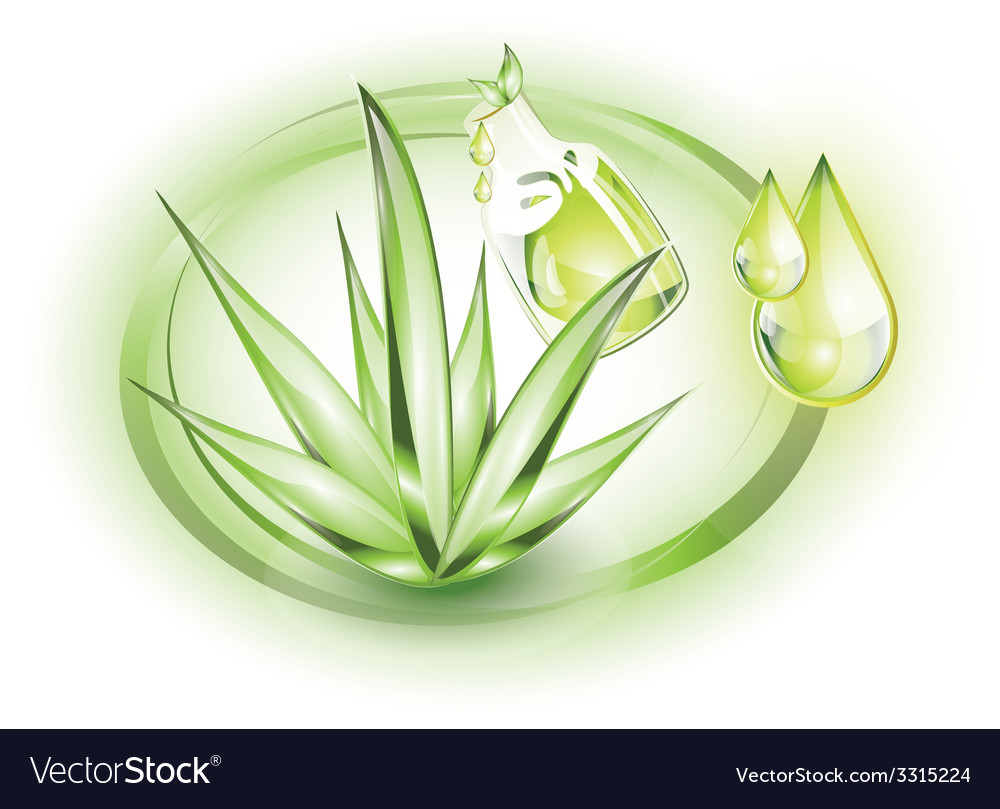 Aloe vera plant with small extract oil drops vector image