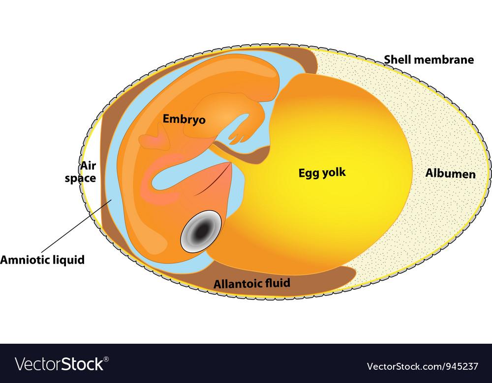 Bird egg embryo diagram Royalty Free Vector Image