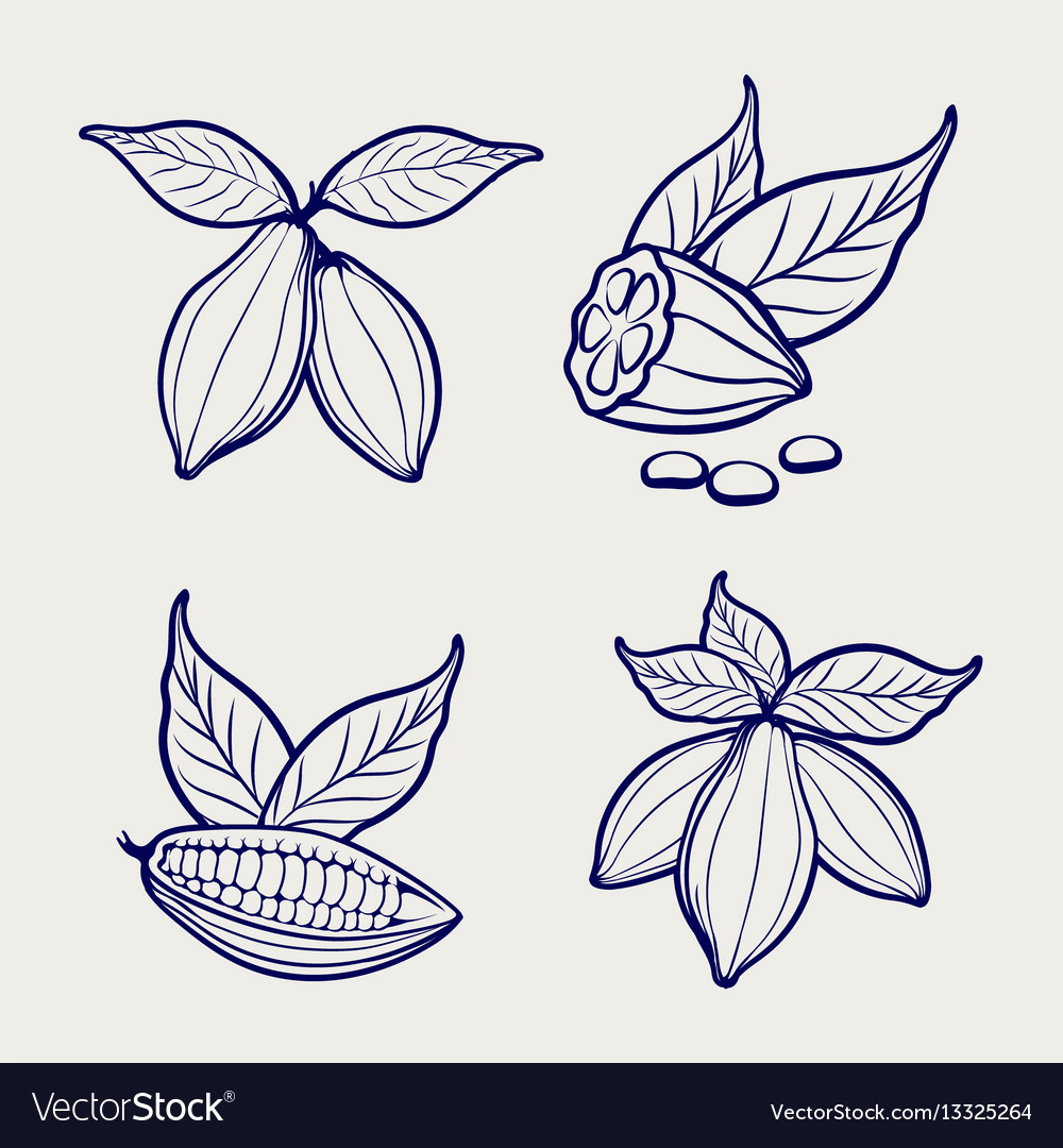 Sketch of cocoa beans and leaves vector image