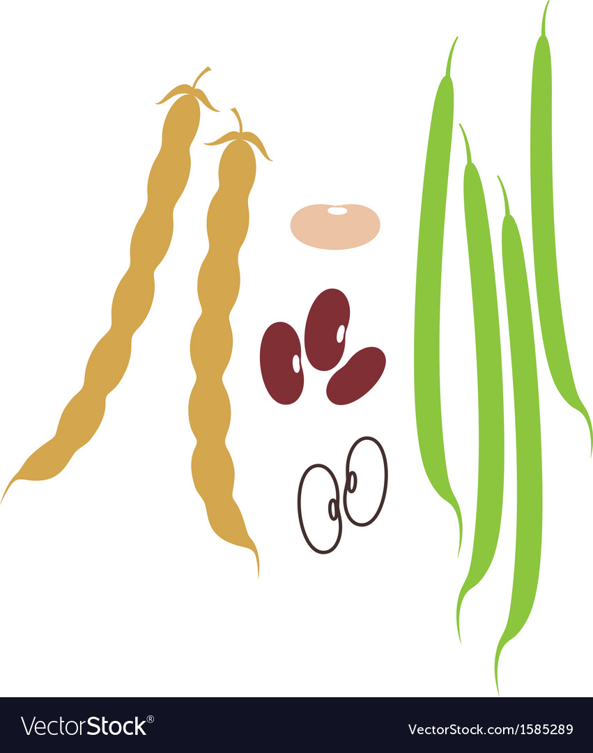 Kidney Bean vector image
