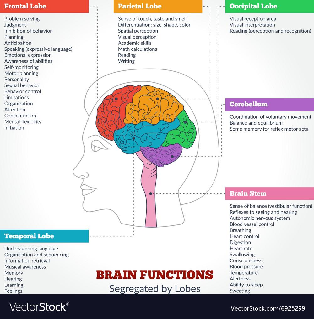 Human brain anatomy and functions royalty free vector image human brain anatomy and functions vector image nvjuhfo Choice Image