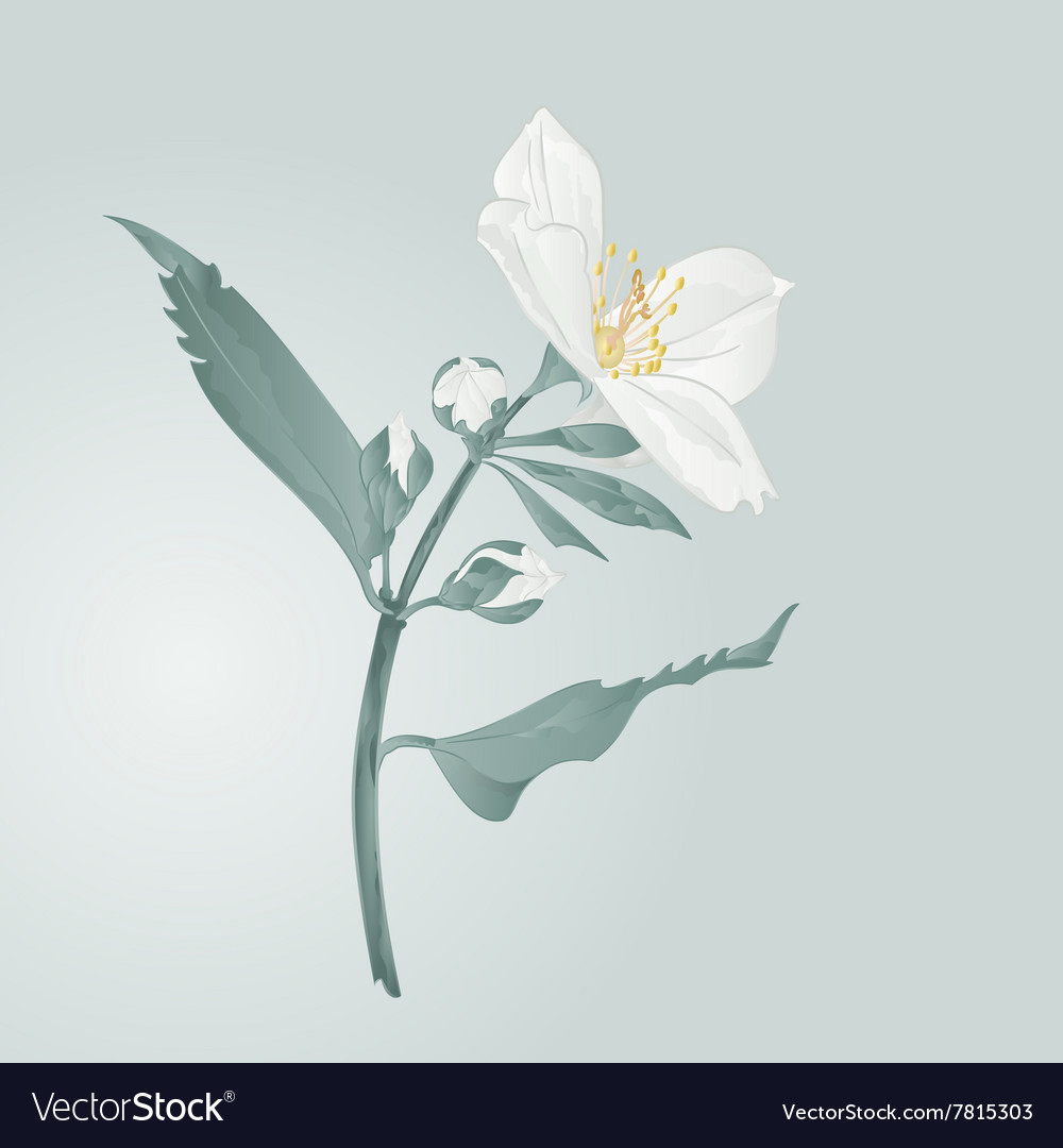 Twig jasmine flower and buds vector image
