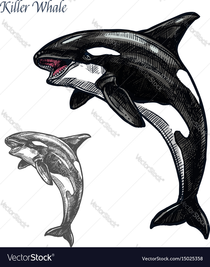 Killer whale or orca sea animal isolated sketch vector image