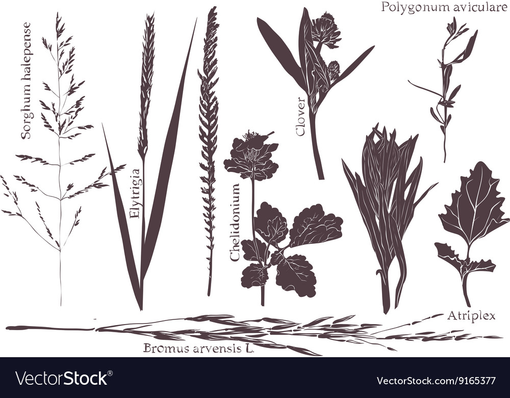 Set leaf meadow grass vector image
