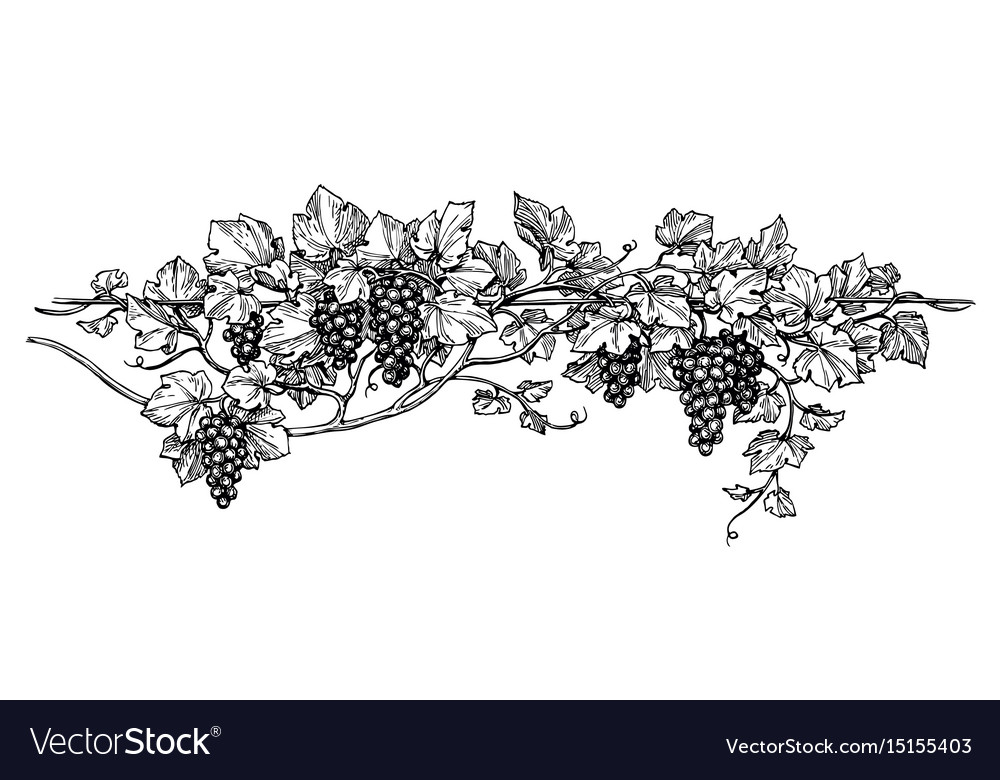 Grapevine ink sketch vector image