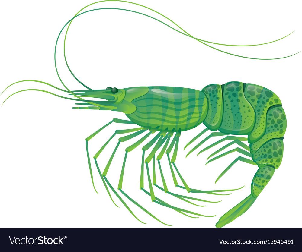Shrimp isolated on white vector image