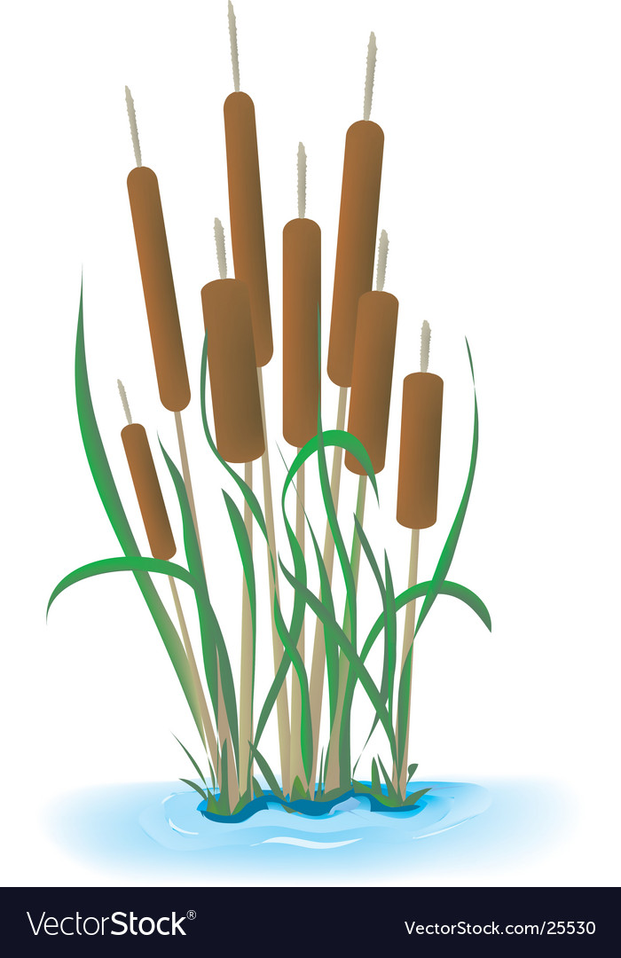 Cattails vector image