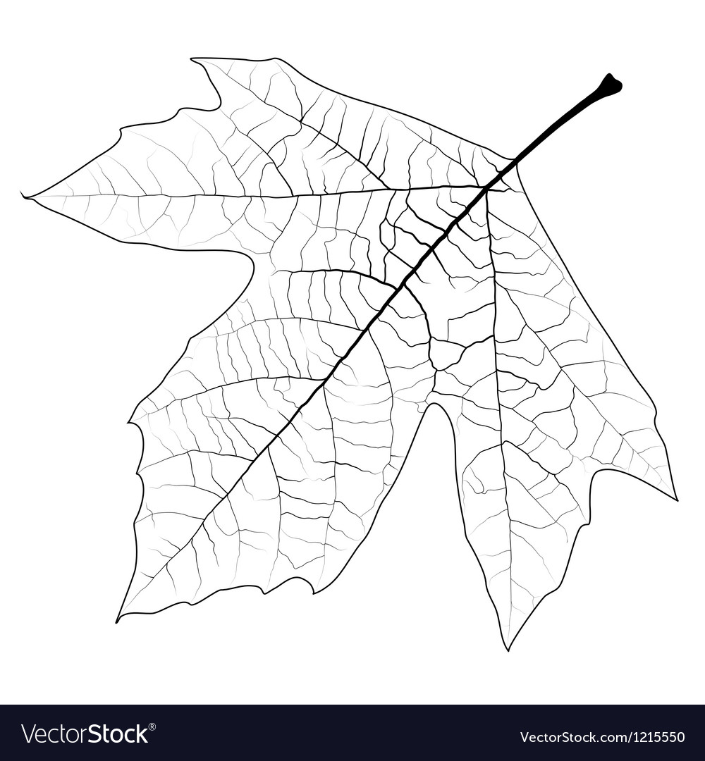 Unclolred Sycamore Leaf vector image