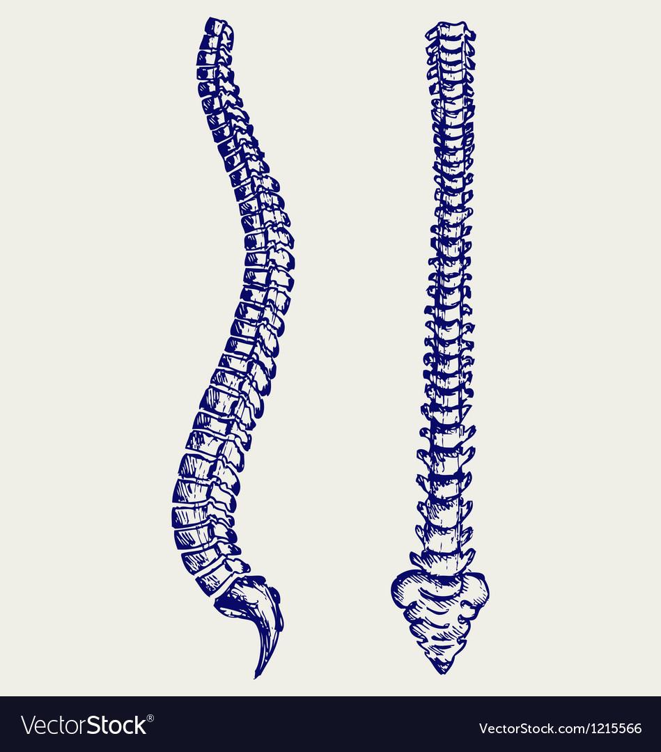 Human Anatomy Spine vector image