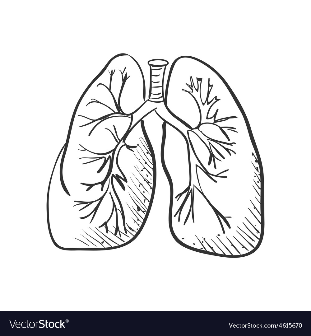 It is an image of Luscious Human Lungs Drawing