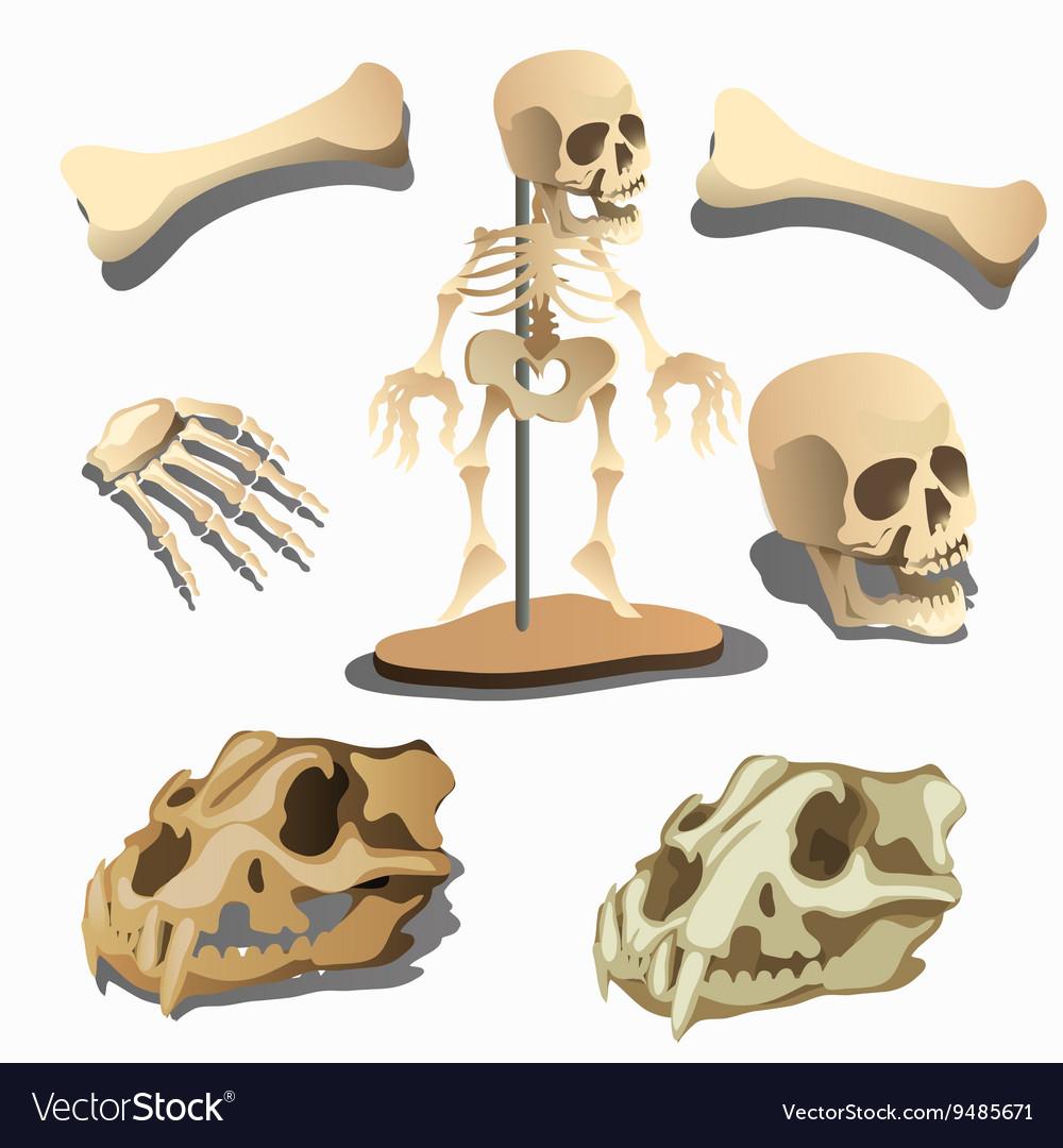 Human skeleton body parts and animals skulls vector image