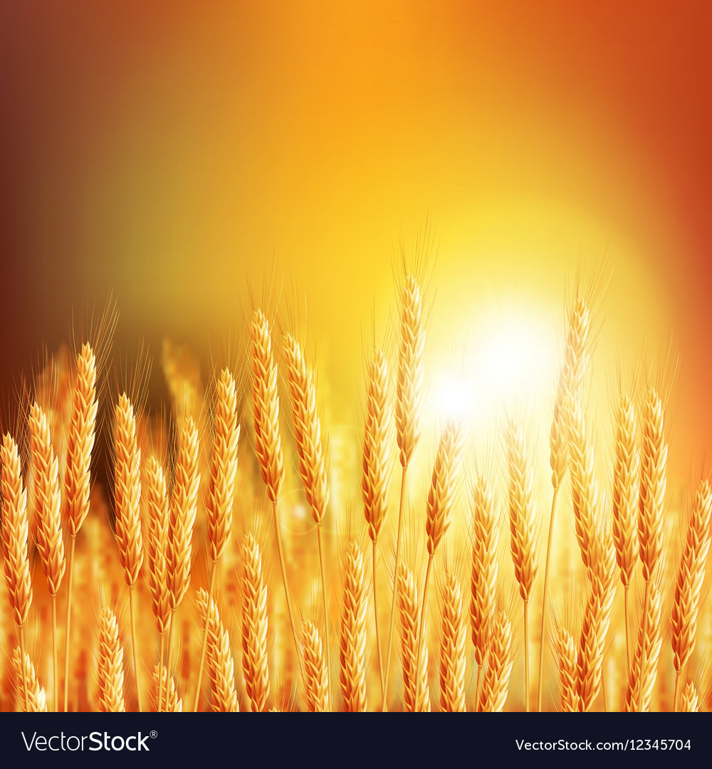 Wheat ears 20161226 2 vector image