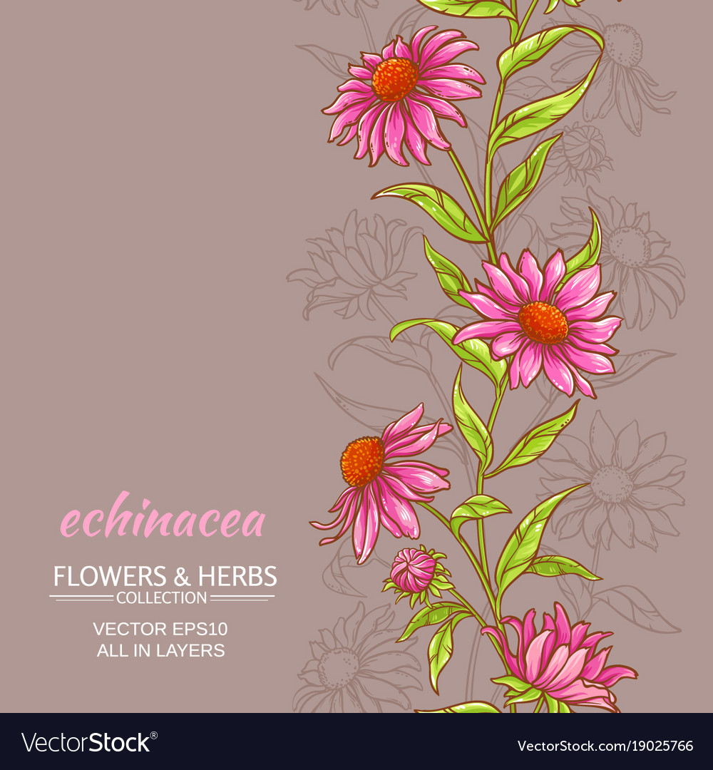 Echinace purpurea background vector image