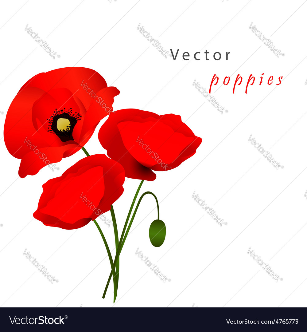 White background with poppies vector image
