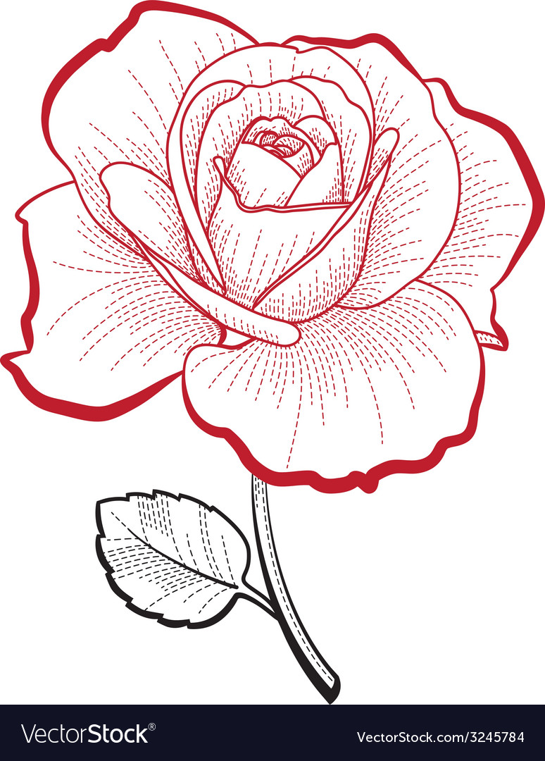 Hand drawing rose vector image