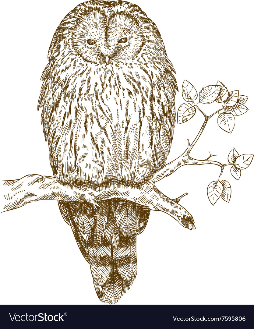 Etching owl vector image