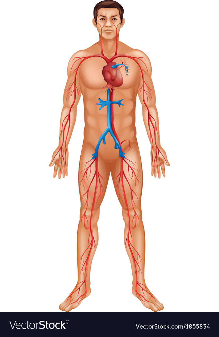 Circulatory System vector image