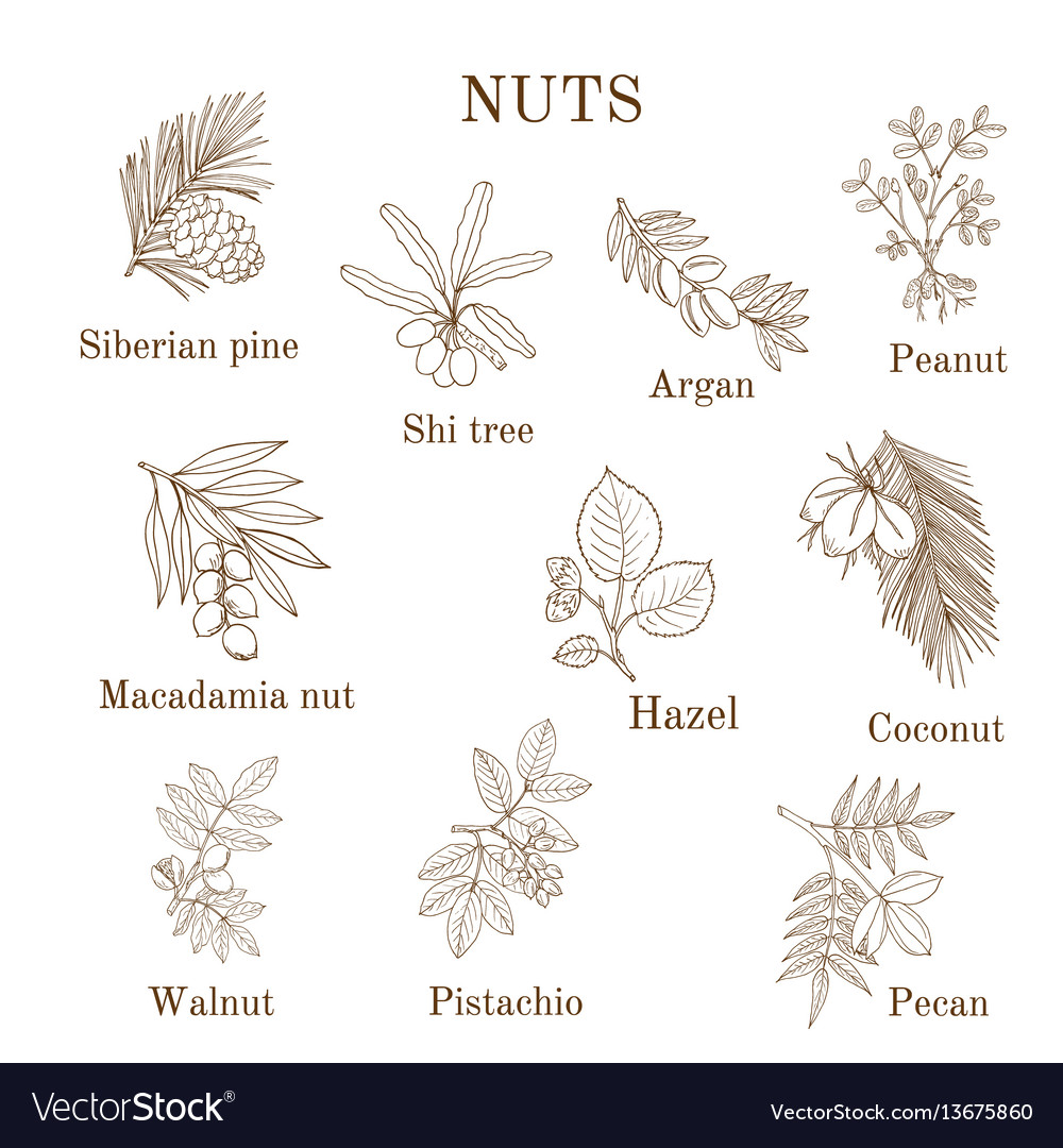 Collection of different nut branches vector image