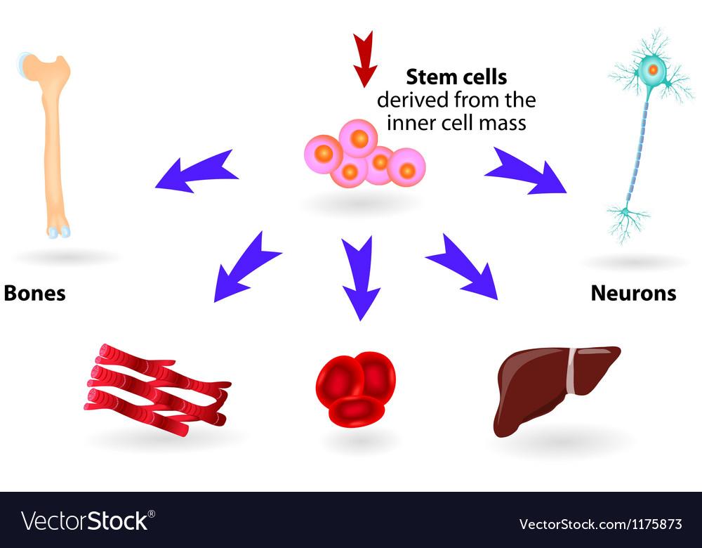 Stem cells vector image
