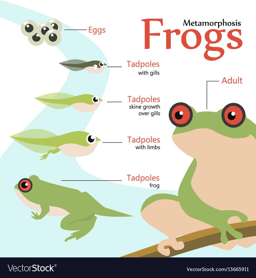 Metamorphosis life cycle of a frog vector image
