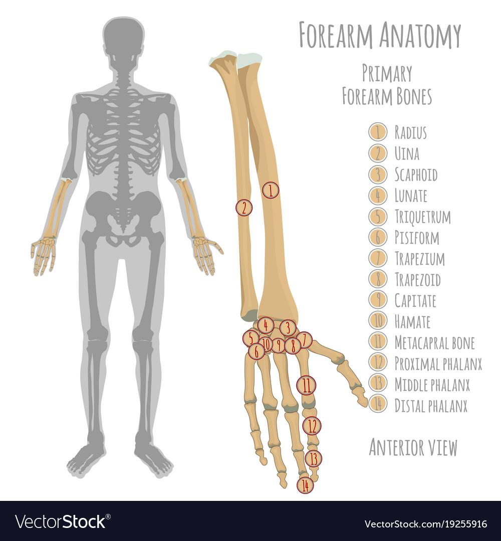 Radius & Bone Vector Images (33)