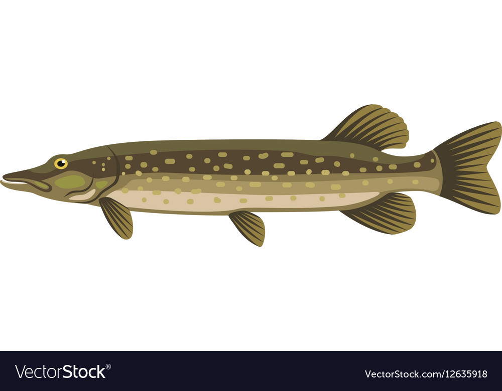 Pike northern esox lucius jackfish fish vector image