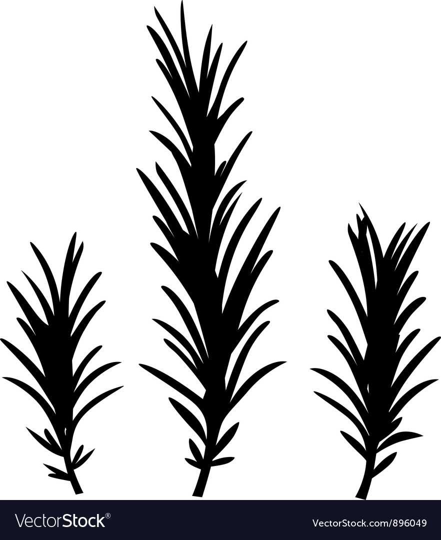 Rosemary herbs isolated on white vector image