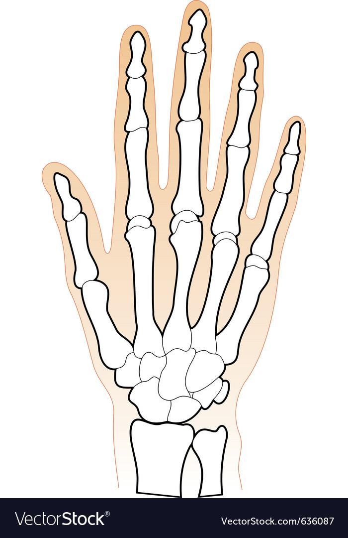 Human Hands Bones Royalty Free Vector Image Vectorstock