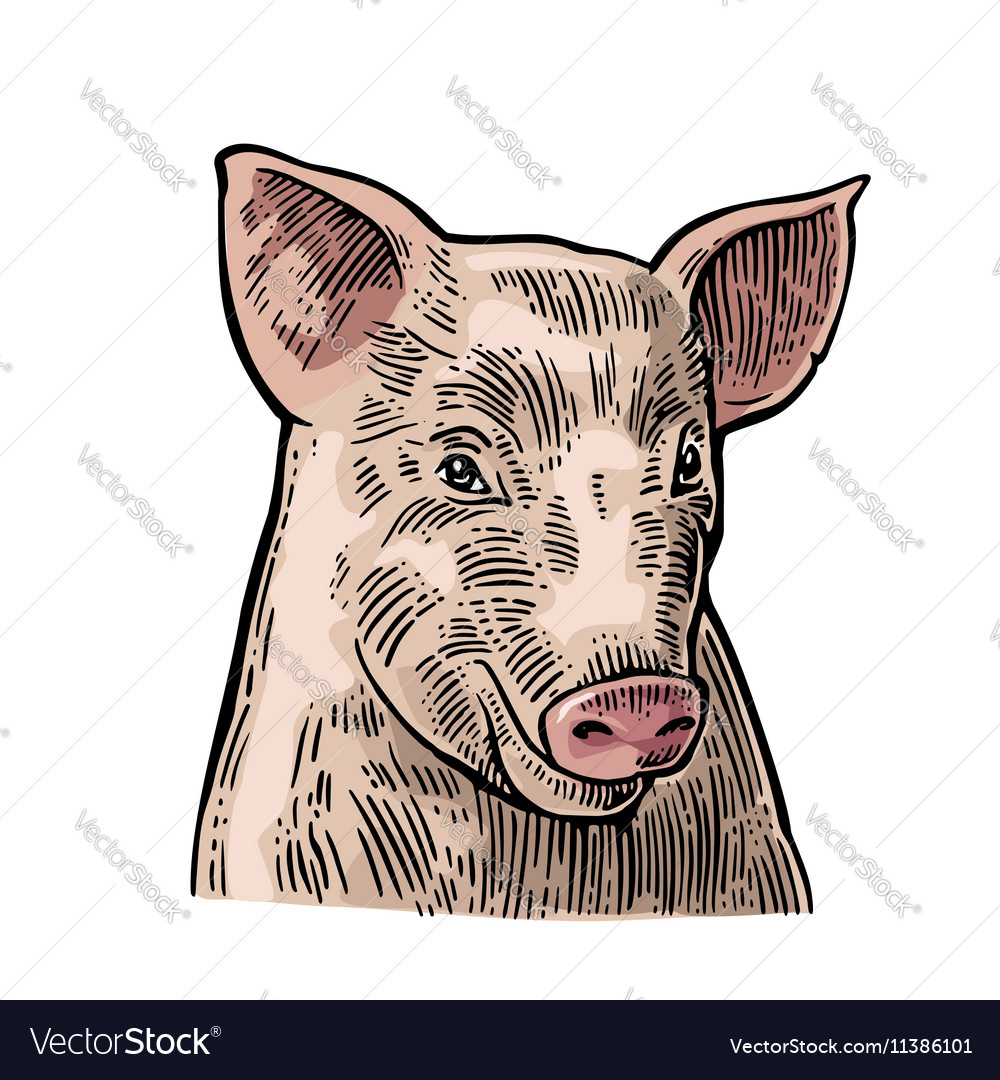 Pig head isolated on white background vector image