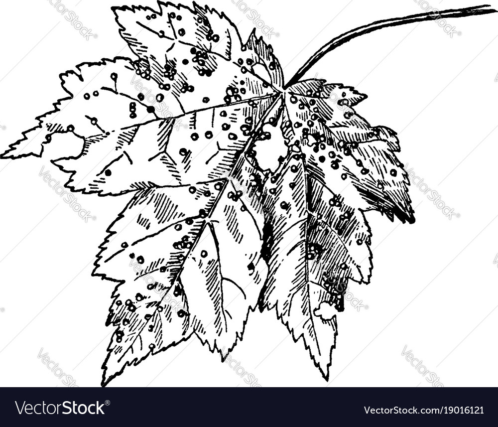 Mite galls on maple vintage vector image