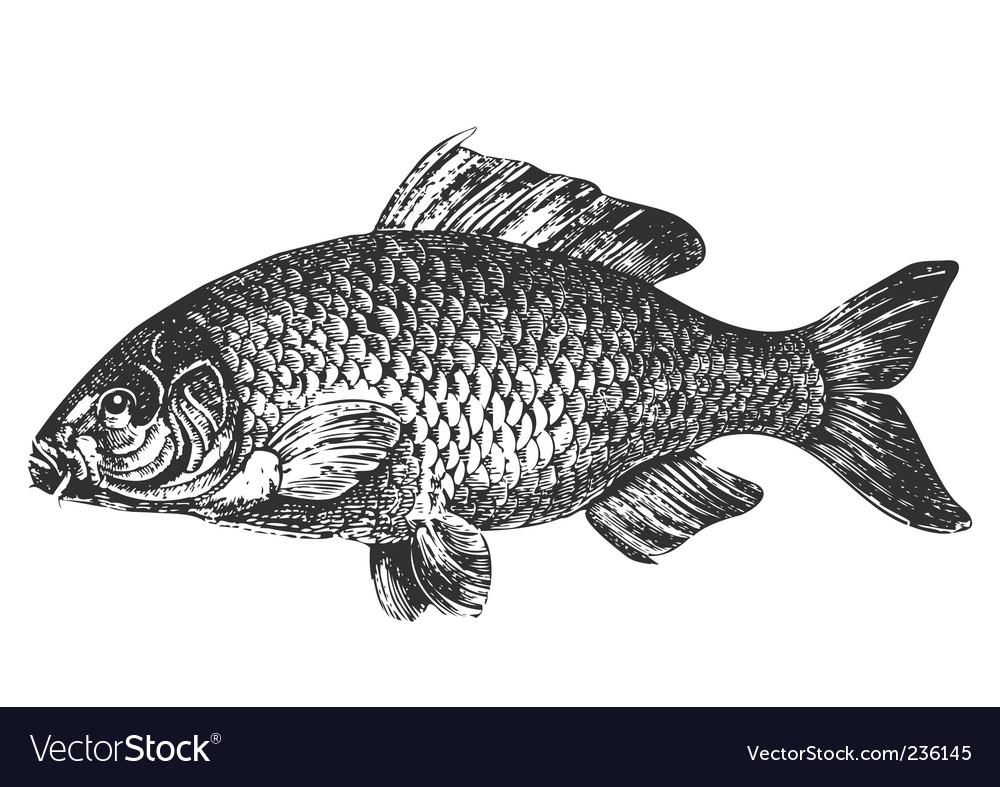 Carp fish antique illustration vector image